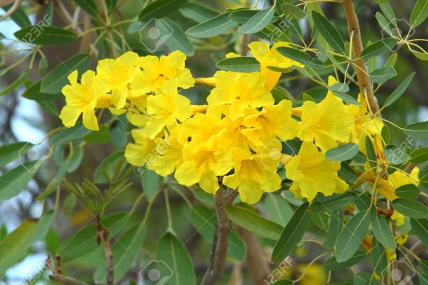 tabebuia-chrysantha-detalle-de-la-flor