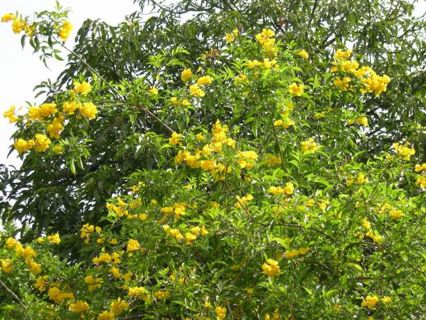 tecoma-stans-floracion-230-3-c
