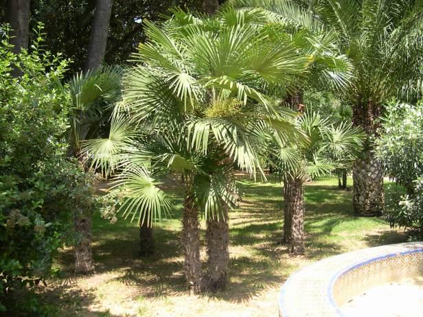 trachycarpus-fortunei-239-1-c