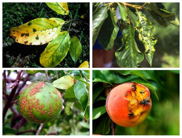 virosis-enfermedades-arboles-frutales