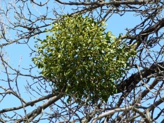 viscum_album_apple-tree_2009_g1