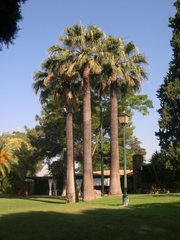 washingtonia-filifera-243-3