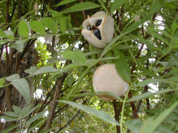 xanthocera-sorbifolia-ficha-246-1