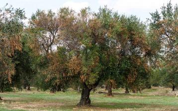xylella-fastidiosa