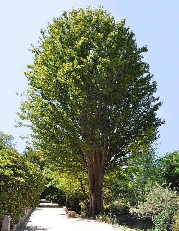 zelcova-serrata-en-el-jardin-botanico-de-madrid