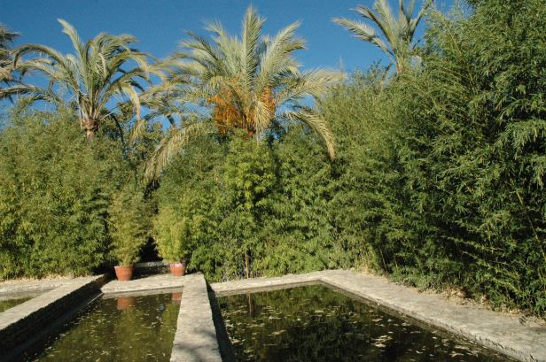 arundinaria-japonicala-vinuela-bambues