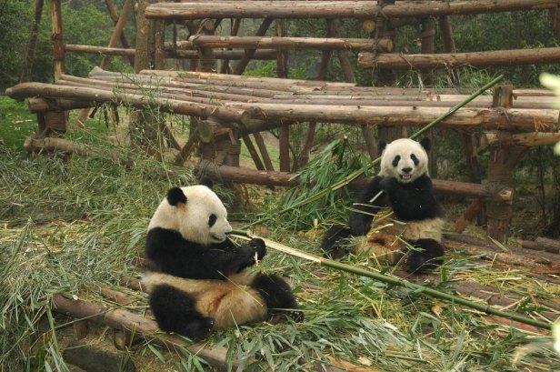 bambu-pandas