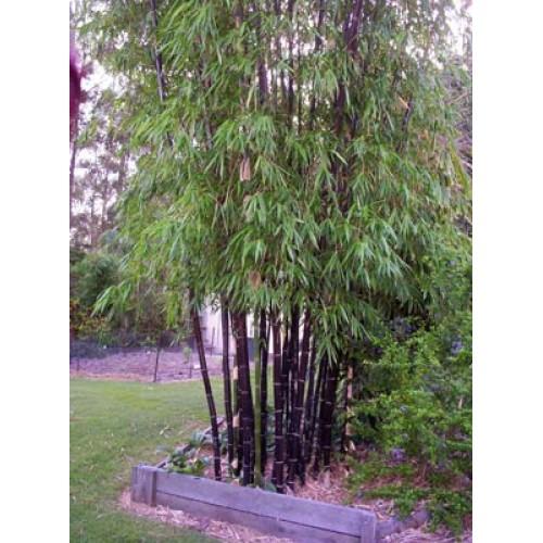 bambu-phyll-nigra