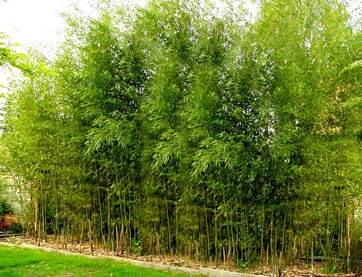 bambu-phyllostachys_aureosulcata_