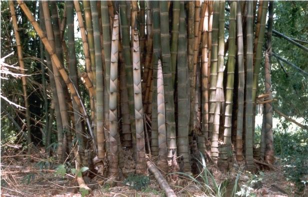Bambues.-Dendrocalamus-giganteus