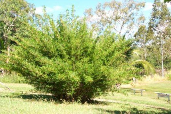 bambusa-glaucescens-goldengoddnes
