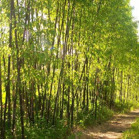 bambusa-lako_2