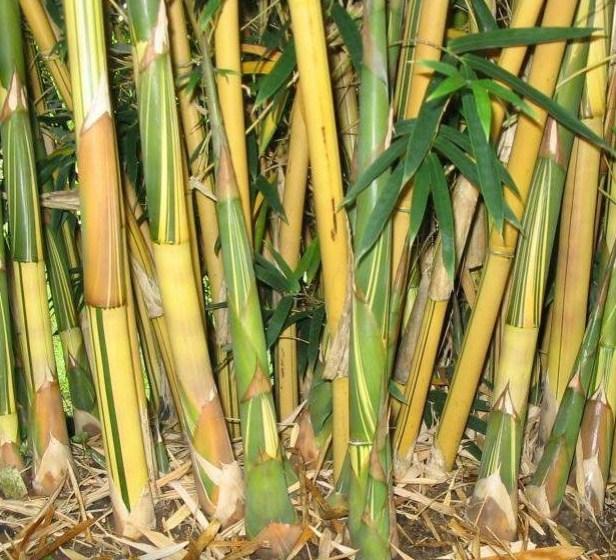 bambusa-multiplex-var-alphonse-karr