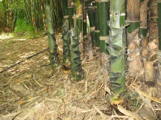 bambusa-tulda-shoots