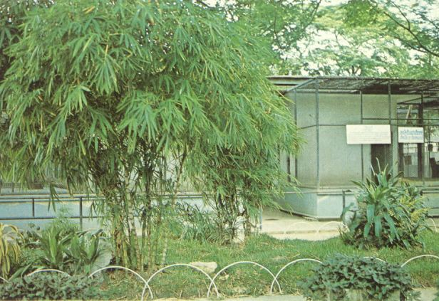 bambusa-ventricosa