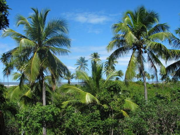 coconut-palms