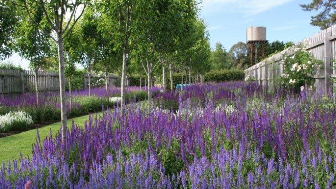 jardin-mediterraneo-asalvia_nemorosa_caradonna_1