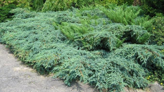 juniperus-x-pfitzeriana