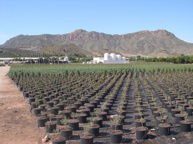 medi-palm-cultivos