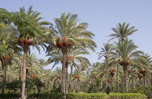 palmeras-en-egipto-datepalm