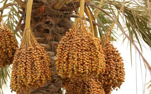 palmeras-frutos