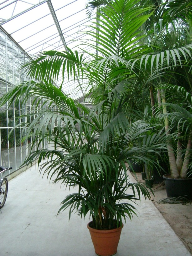 palmeras-kentia