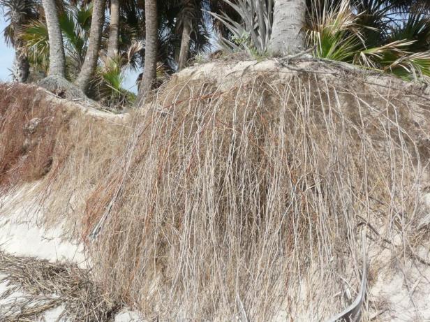 palmeras-rootspalm