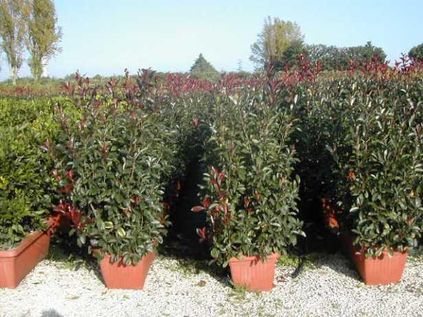 photinia-red-robin-seto-en-jardinera