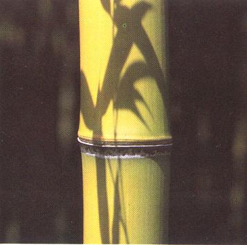 phyllostachys-bambusoides