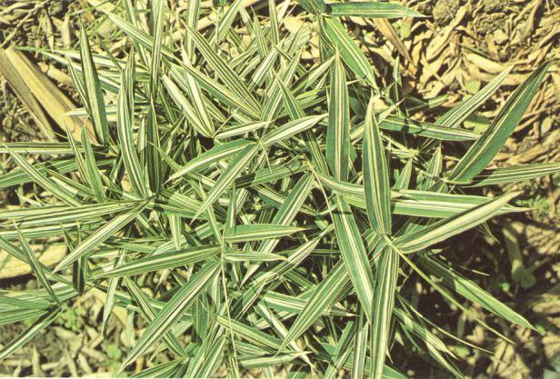 pleioblastus-fortunei-variegata