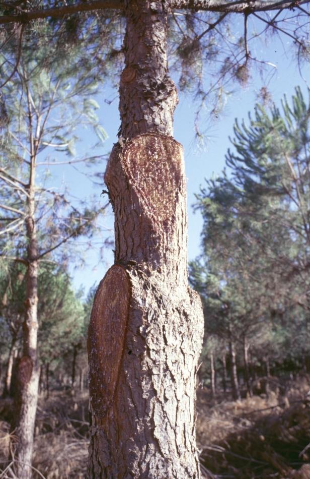 poda-malos-cortes-en-pinus-pinea