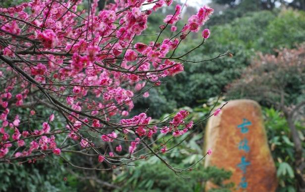 prunus-mume-en-flor