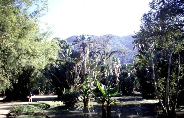 rio-jardin-botanico-1999-montrichardia-arborescens-anaingua-uba