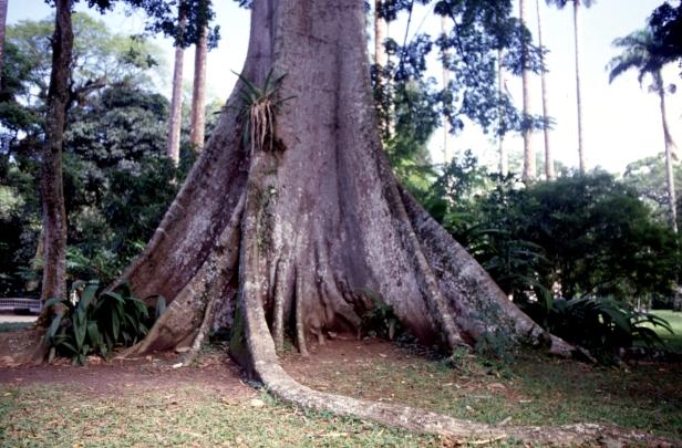 rio-jardin-botanico-ceiba-pentandra