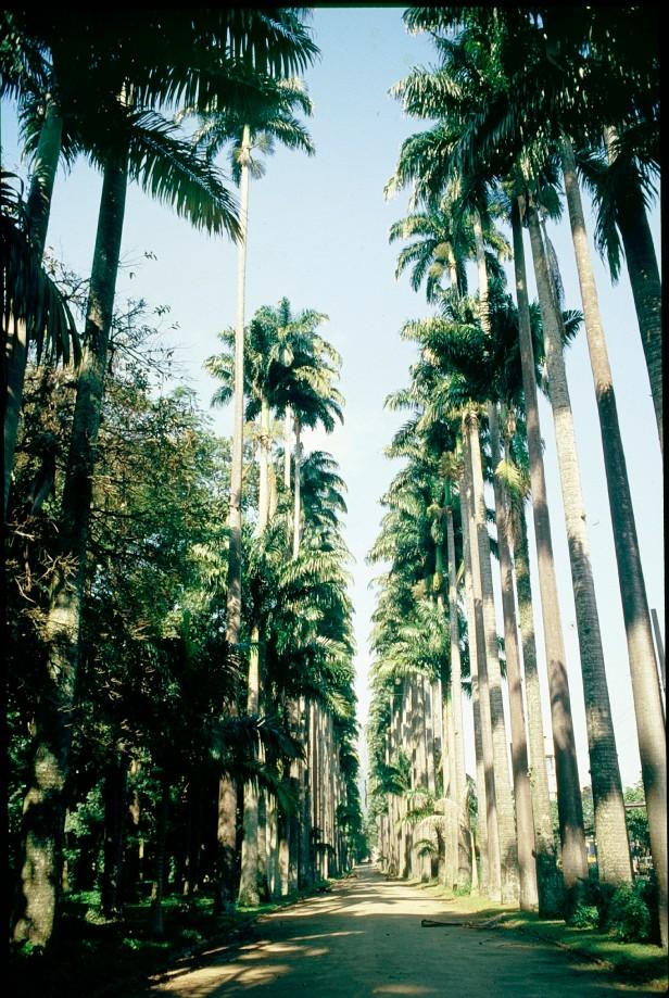 rio-jardin-botanico-roystonea-oleracea