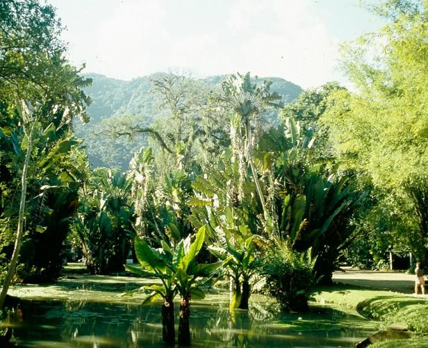 rio-montrichardia-arborescens