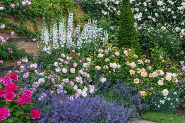 Rosa 'Olivia Rose Austin' and 'The Lady Gardener'