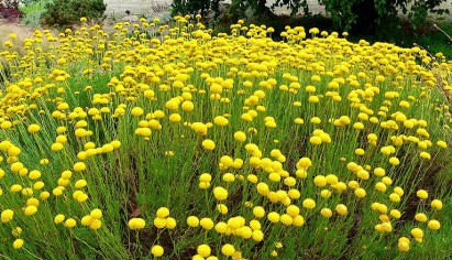 sasantolina-chamaecyparissus