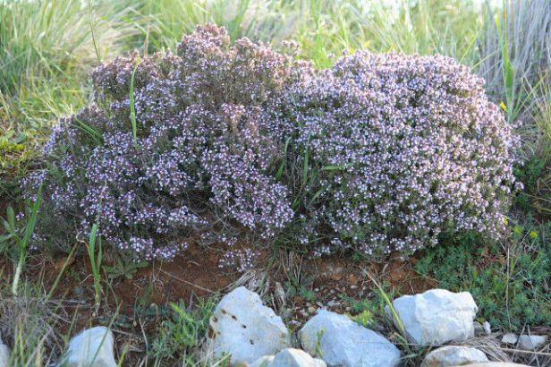 thymus-vulgaris-tomillo