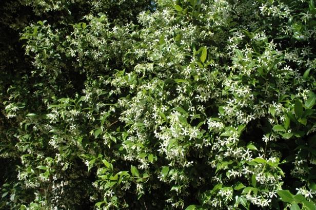 trachelospermum-jasminoides-a
