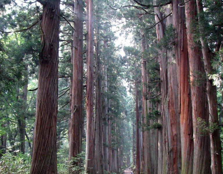 tree_lined_path_to_the_togakushi_shrine1