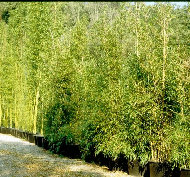 viveros-bambues-en-contendor