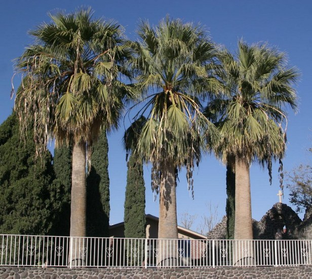 washingtonia-filifera_redimensionar