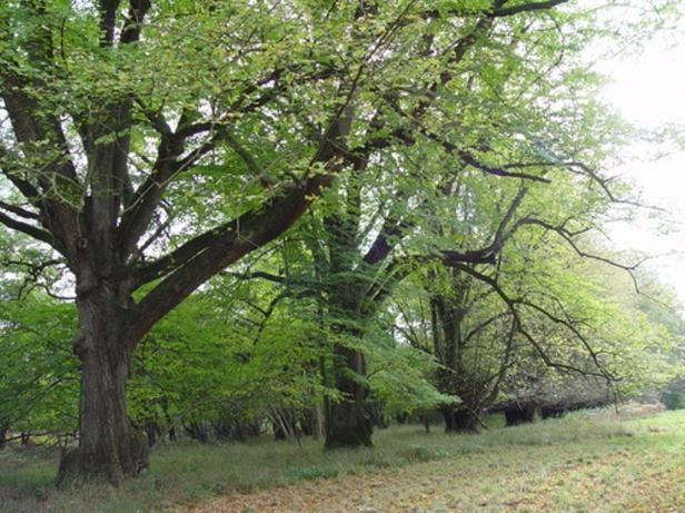 wychwood-avenue-of-limes