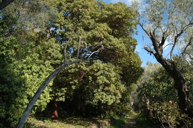 boccanegra-arbutus-andragnoides