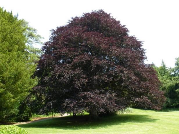 inglaterra-tyntesfield-gardens-fagus-sylvatica-var-purpura-haya-purpura