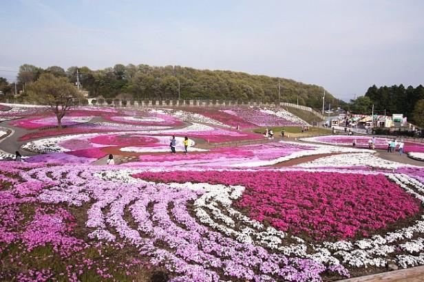 japon-takasaki-misato-shibazakura-park