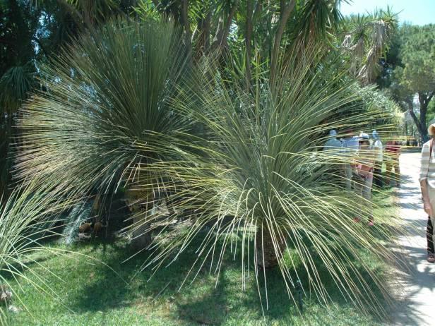 jardin-de-los-marchesi-di-san-giuliano-dasylirion-quadrangularis