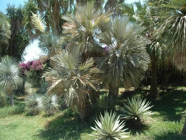 jardin-de-los-marchesi-di-san-giuliano-thrinax-campestris