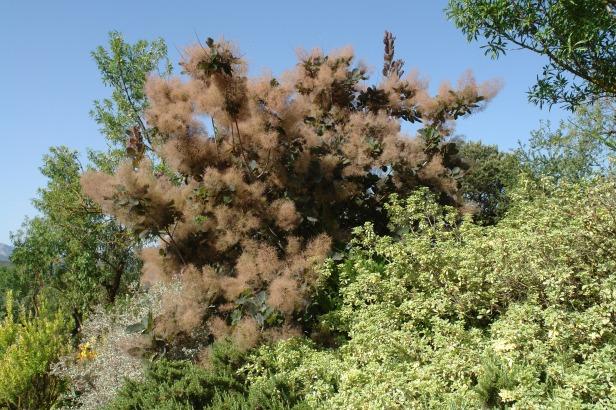jardin-del-rosario-cotinus-cogyria-2-julio-2016-054